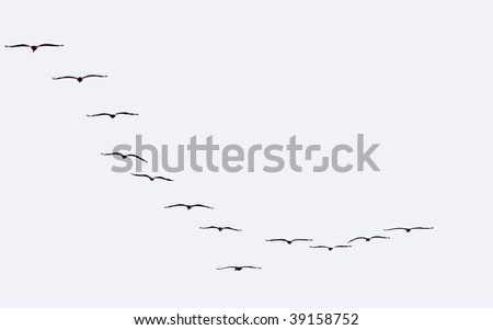 Free flight of a flock of seagulls on a white background. - stock photo