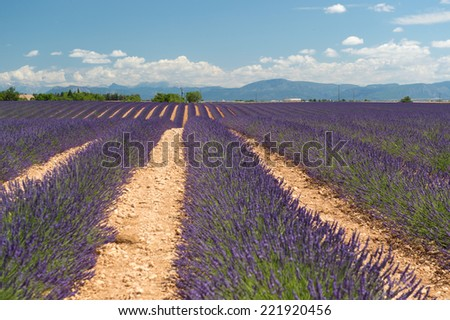 French lavender field at Plateau de Valensole