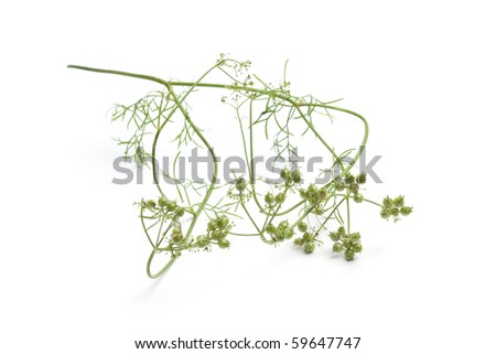 Fresh coriander seed on a sprig isolated on white background