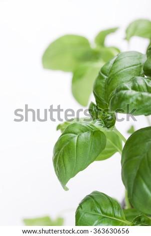 Fresh green Italian basil on a white background. Closeup, selective focus - stock photo