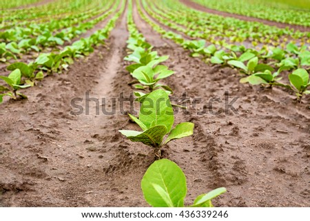 Fresh natural young tobacco plants in  tobacco field with sandy soil, Germany - stock photo