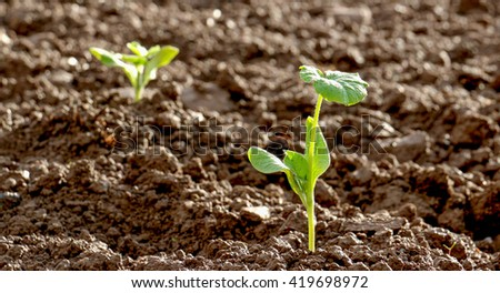 fresh planted vegetable in a field