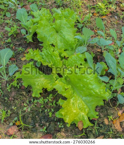 fresh vegetable plants on a field,Lettuce - stock photo