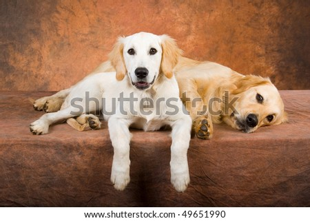 2 Friendly Golden Retrievers resting on brown mottled background fabric - stock photo