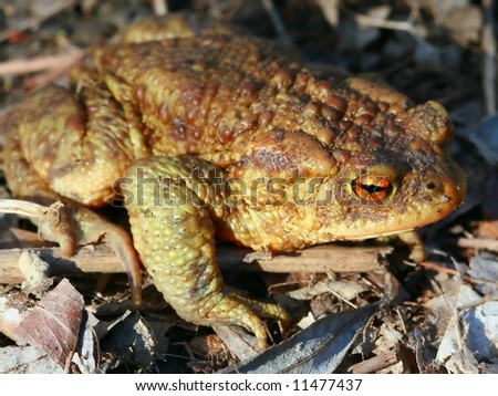 Frog – toad in the sun - stock photo