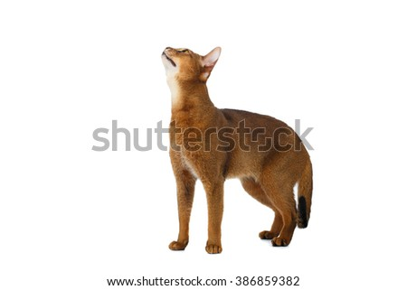 Funny Abyssinian Cat Standing and Looking up isolated on White background - stock photo