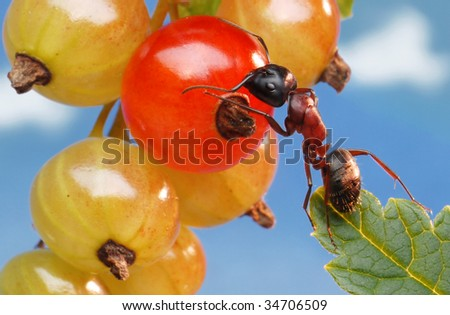 garden ant touching red currant - stock photo