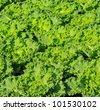 Garden lettuce - stock photo