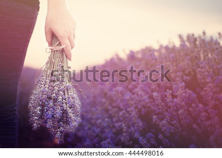 Gathering a bouquet of lavender. Girl hand holding a bouquet of fresh lavender in lavender field. Sun, sun haze, glare. Purple tinting  - stock photo