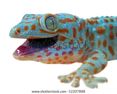 Gecko lizard - stock photo