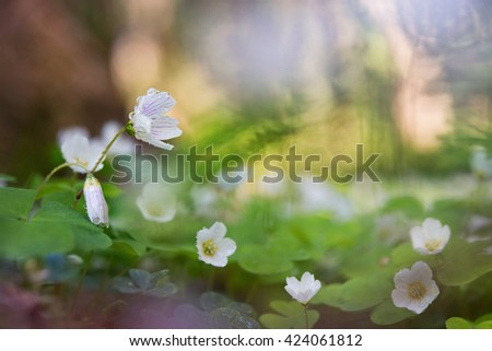 Gentle floral background with shallow depth of field flowers Oxalis and rain drops. - stock photo
