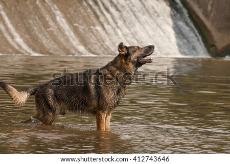 German Shepherd Dog Nero in the water at the weir