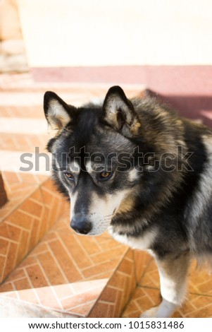 german shepherd husky mix portrait photo shoot