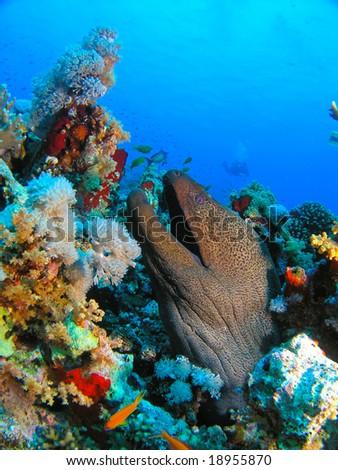 Giant Morey Eel - stock photo