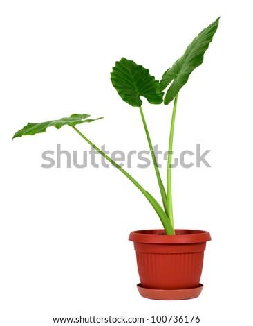 Giant Taro plant with three leafs also known as:Alocasia machrorhiza,Dieffenbachia (Dumb Cane), Elephant Ear, Cunjevoi isolated on white background - stock photo