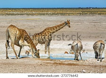 2 giraffe and 2 zebra drinking from a waterhole in etosha national park - stock photo