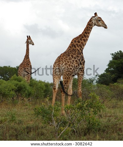 2 giraffes walking away - stock photo