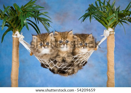 3 Golden Chinchilla Persian kittens in mini hammock, on blue background - stock photo