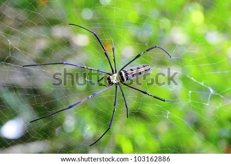Golden orb-weaver Spider  Nephila plumipes  in web showing top view - stock photo