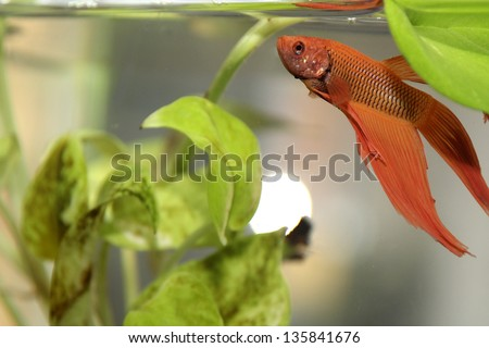 golden siamese fighting fish in aquarium