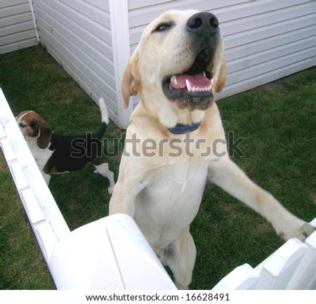 Good Dog, yellow lab - stock photo