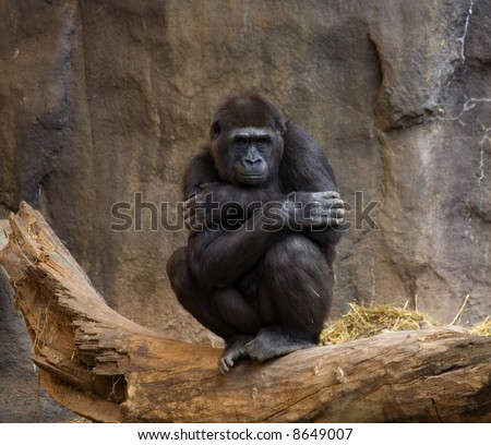Gorilla, Ape, thinking and looking out at the crowd