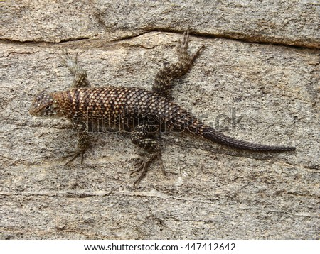 Granite spiny    lizard in indian canyon, palm springs, california