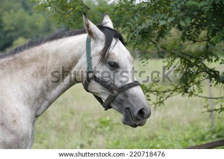Gray horse eating tree leaves - stock photo