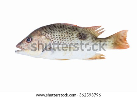 gray snapper fish,lutjanus johnii fish isolate on white background,Fish fresh and tasty seafood,raising ornamental fish