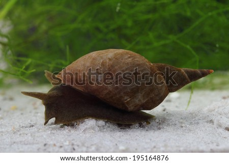 Great pond snail (Lymnaea stagnalis) on the ponds bottom - stock photo