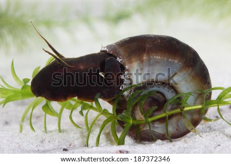 Great ramshorn (Planorbarius corneus) in pond. Macro - stock photo