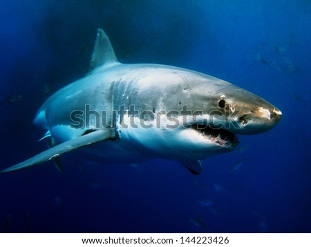 Great White Shark Underwater Photo - stock photo