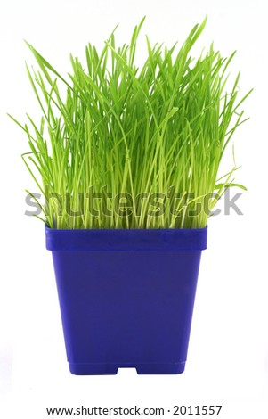 """Green and Blue"" Bright blue and green colors from a container of indoor grass for cats."