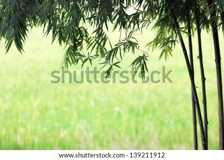 green bamboo and rice field background - stock photo