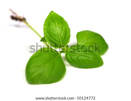 Green basil leaves on white background - stock photo
