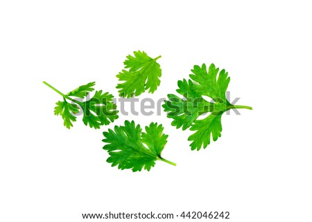 green coriander leaves closeup isolated on white background