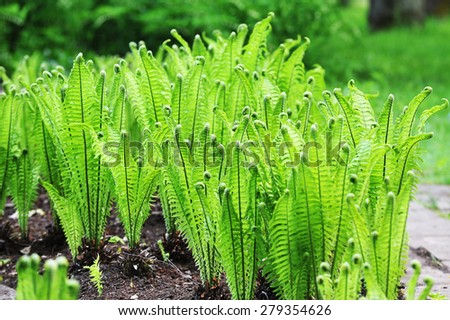 green fern growing in botanical garden - stock photo