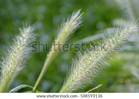 green fox tail grass