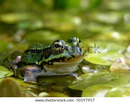Green frog in pond - stock photo
