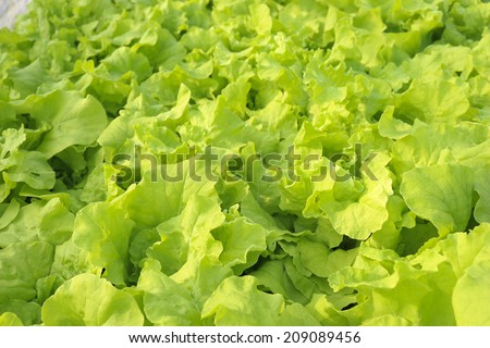 green hydroponic vegetable in farm. - stock photo