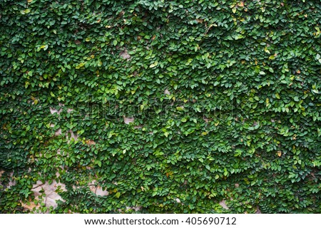 Green leaf cover at Cement wall for fence or background, Green Wall - stock photo