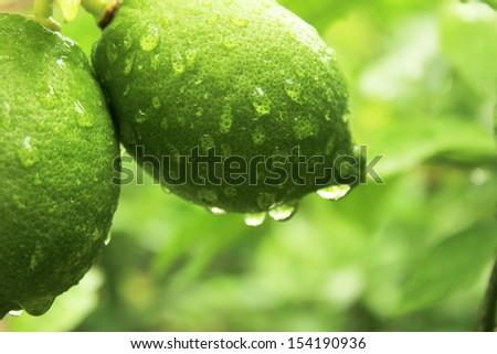 green lemons in dew - stock photo
