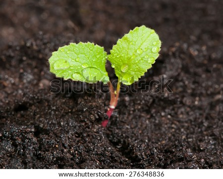 Green sprout of radish in the ground with dew drops close up. - stock photo