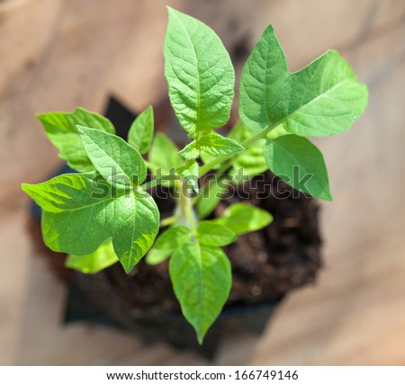 Green tomato plant growing in soil - stock photo