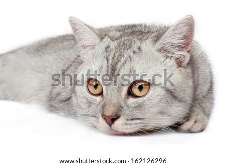 grey  cat, breed scottish-straight, on white background, isolated portrait - stock photo