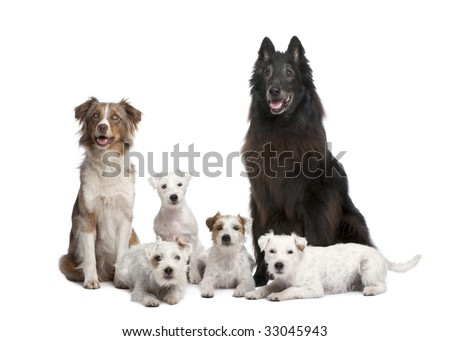 group of 5 dogs; 4 Parson Russell Terrier, a Australian Shepherd and a mixed-breed in front of a white background