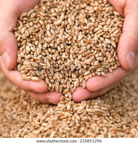 Hands with a grain of wheat closeup - stock photo