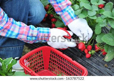 harvest strawberry at field