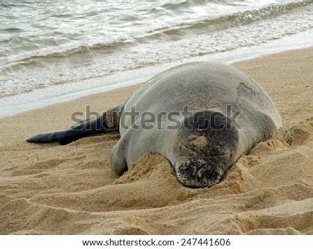 hawaiian monk seal resting on poipu beach, kauai, hawaii,  at dusk         - stock photo
