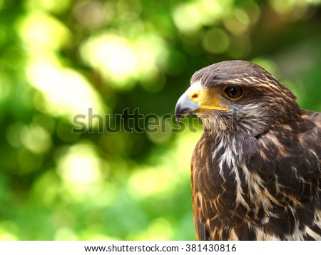 Hawk is similar to the Eagle The birds of prey as well. But the Hawks are smaller Is there a hooked beak.  high And have very good eyesight . - stock photo
